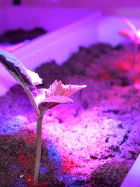 Светильник светодиодный AS-Т/8-ФИТО 8Вт 230В IP40 600мм для роста растений
